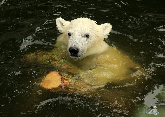 Eisbär Fiete im Zoo Rostock 12.07.2015 0228