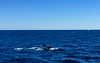 2 Aug 2015: Humpback Whale Watching off Cape Cod (Stellwagen Bank)
