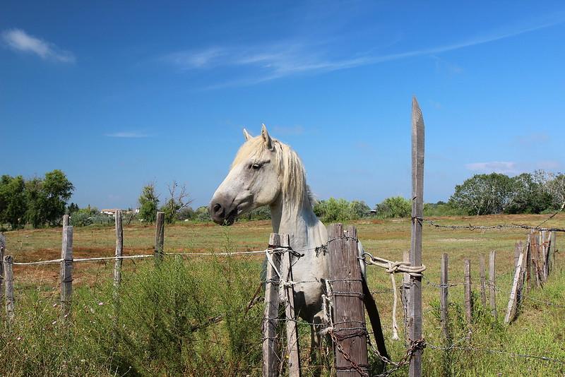 El cavall de la Cqmarga