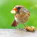 Young cardinal is proud to master peanuts.  His dad is nearby.   Jeune cardinal est fier de maîtriser les arachides. Son père est proche.     DSC_6317 by Nicole Nicky