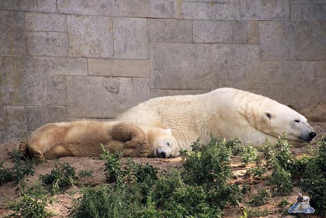 Eisbär Fiete im Zoo Rostock 02