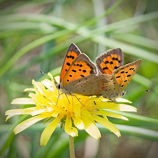 Червонец пятнистый (Многоглазка пятнистая) / Small Copper (American Copper, Common Copper) / Lycaena phlaeas / Малка огневка / Kleiner Feuerfalter