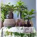Das Fernweh wird durch Sagopalmfarn, Livingstonpalme, Fischschwanzpalme und Steckenpalme geweckt