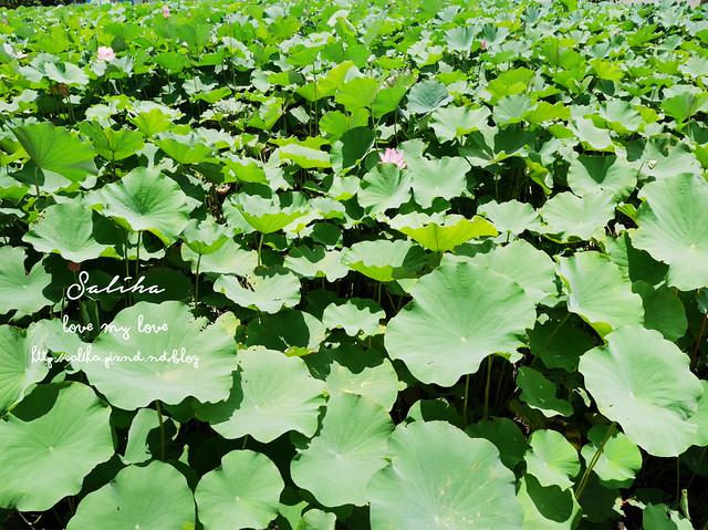 三峽蓮花景點 (5)