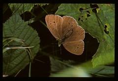 British Brown Butterflies