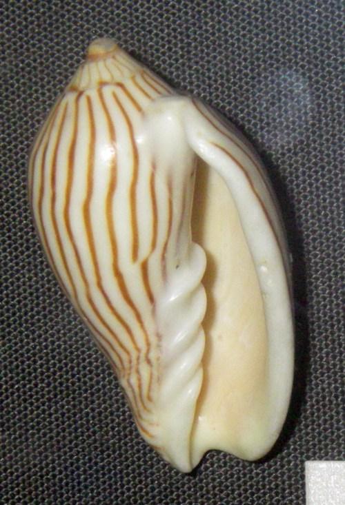 Amoria zebra 19671426352_0125ce7f0b_o