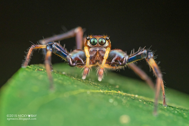Big-jawed jumping spider (Parabathippus sp.) - DSC_4936