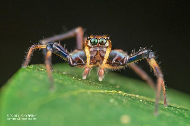 Big-jawed jumping spider (Parabathippus sp.) - DSC_4936