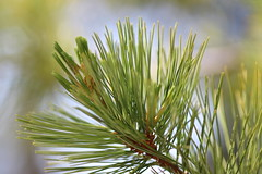 Fresh young pine needles