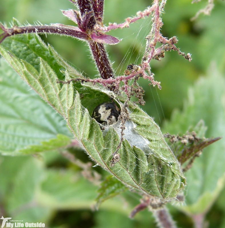 P1150079 - Garden Spider, Ingleton Waterfalls