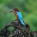 White-throated Kingfisher by Birdies ...