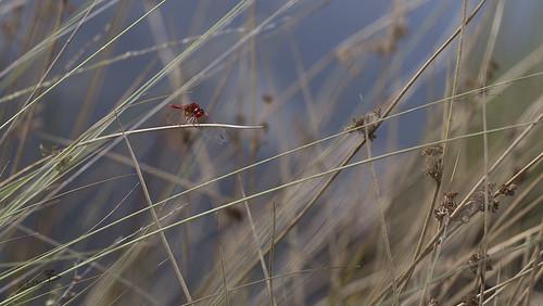 Libellule rouge - Crocothemis erythraea