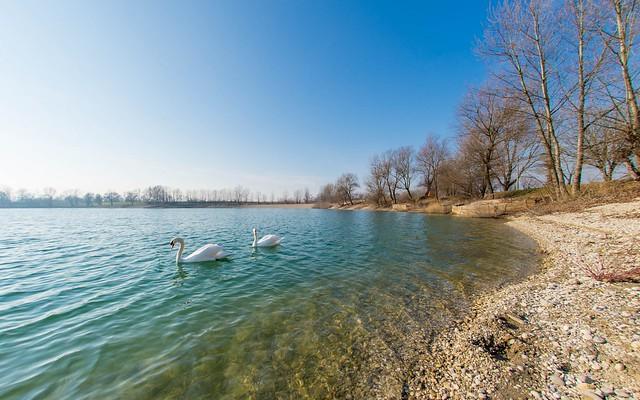 lake Zajarki (83) - swans