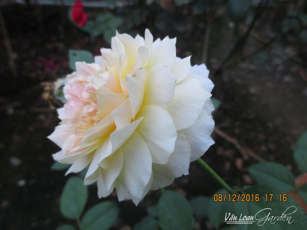 hong molieux hoa hong ngoai (1)-vuonhongvanloan.com