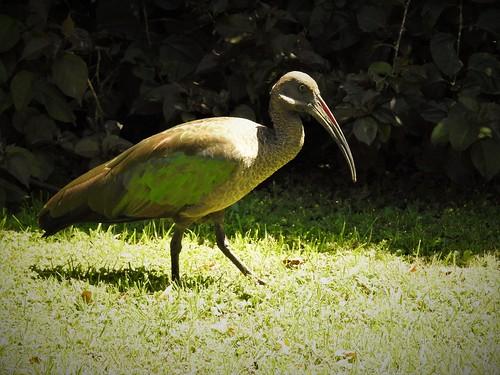 hadada ibis bostrychia hagedash