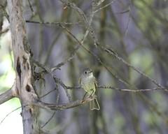 Tyrant Flycatchers, Phoebes, Kingbirds, Pewees