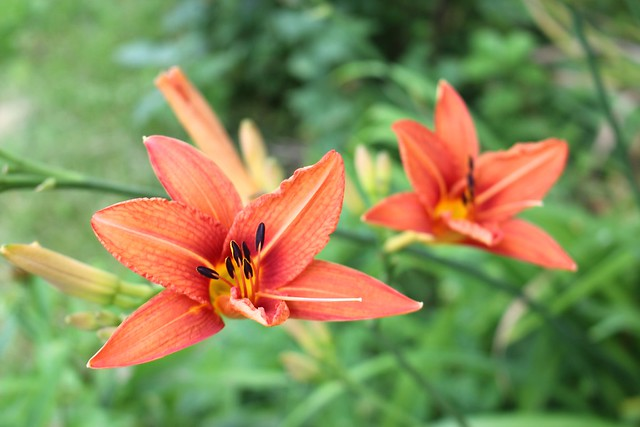 orange-daylilies