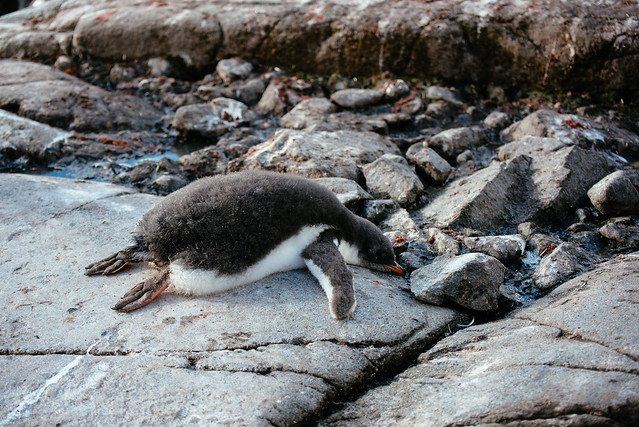 Tired penguin chick