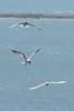 IMG_7093.jpg Forster's Terns, Año Nuevo by ldjaffe