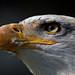 Bald eagle - protected eyes by pe_ha45