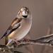 Hawfinch by robert.vierthaler