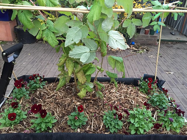 raspberry planting in Rolling Raspberry patch by Samvara