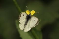 Small White(pieris rapae).