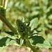 Small photo of Amaranthus retroflexus - stem