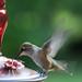 Hummingbird by jcurtis4082