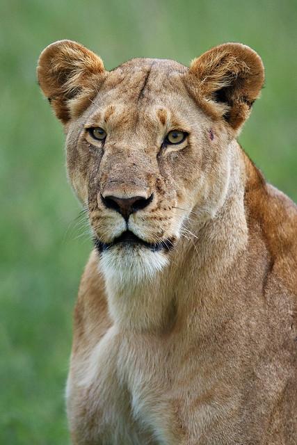 Cheli Pride Lioness