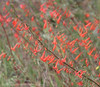 Scarlet Gilia or Skyrocket