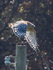 Red-shouldered Hawk (Buteo lineatus) vs Crayfish