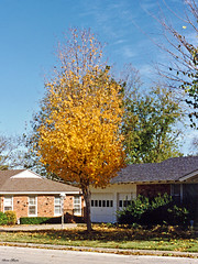 Tree in Fall Colors, North Richland Hills