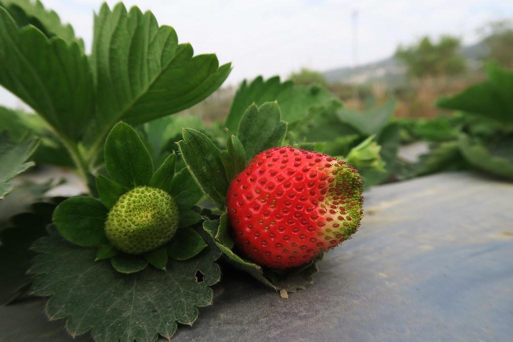 阿蓮三本草莓園 (11)