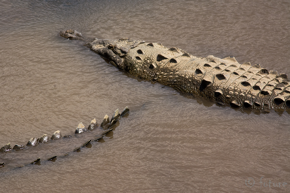 Ameerika, krokodill, Crocodylus, acutus, American, crocodile, Carara, National, Park, Costa, Rica, Kaido Rummel