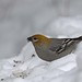 Pine grosbeak_(Peter Dunn)