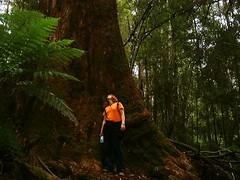 Big tree @ Tasmania, Australia