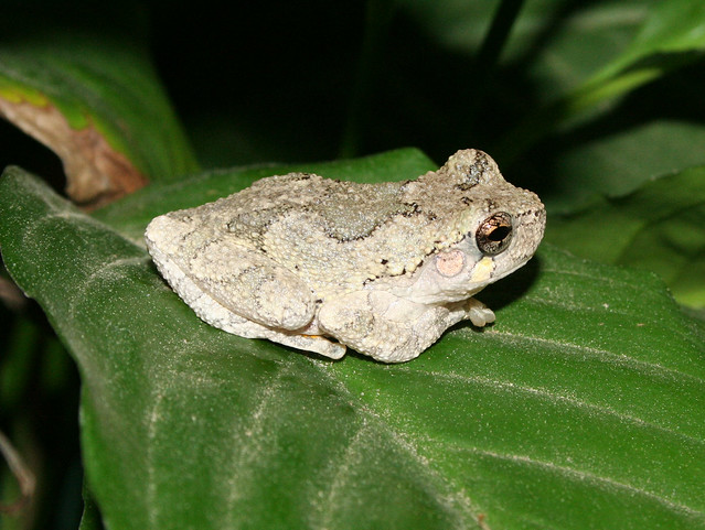 Cope S Or Eastern Gray Tree Frog Flickr Photo Sharing