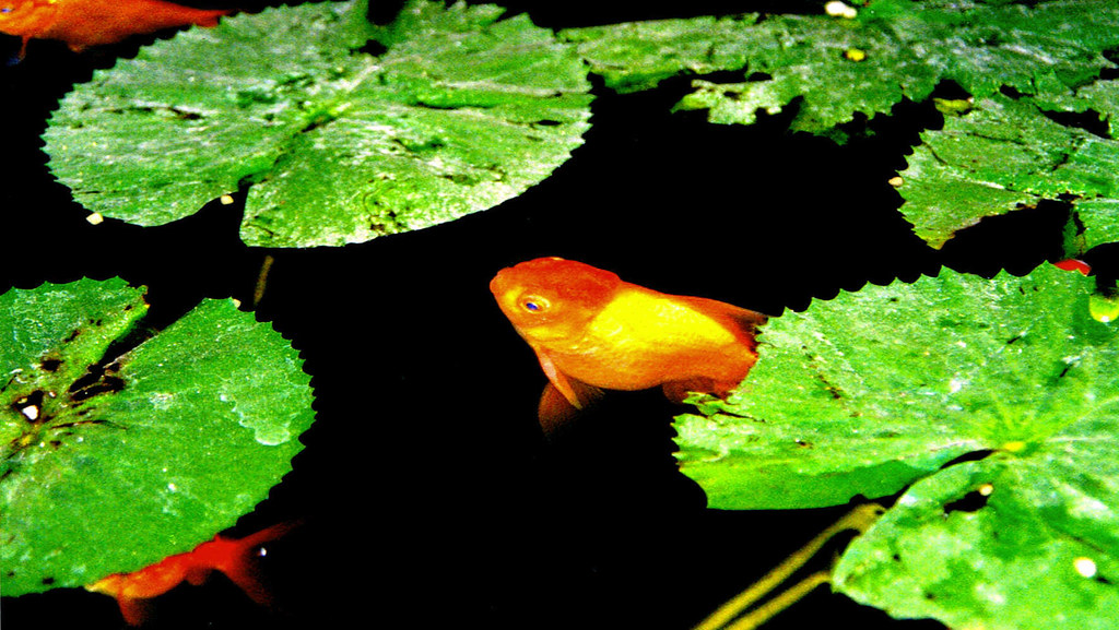 solitude by the water garden amongst the fish and the lotus... or the fiery fish rising up from the dark depths of the unconscious...