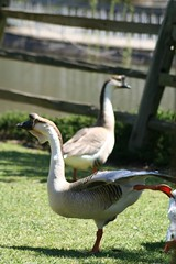 Goose ballerina