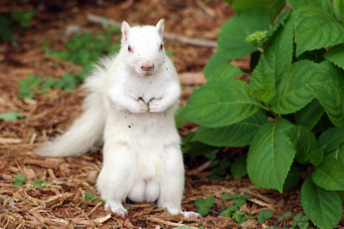 Albino Squirrel!