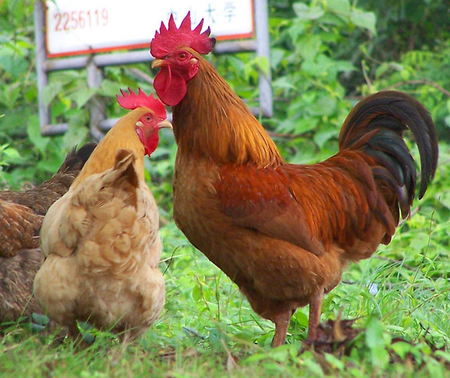 Can Chickens And Ducks Have Processed Food Scraps