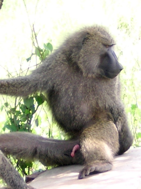 Confirm. The size of a monkeys penis question