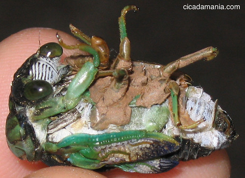 Tibicen chloromera Cicada
