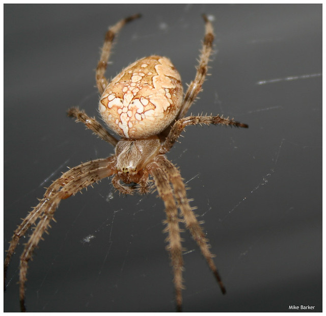 How much Do Spiders Suck? - Page 2 79099692_ba3e3e2d3a_z