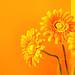 Orange Flowers, Orange Bathroom by dyniss