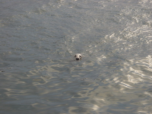 Grey Seal in harbour | by Ostaleri