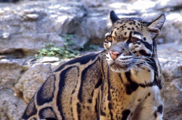 Clouded Leopard II