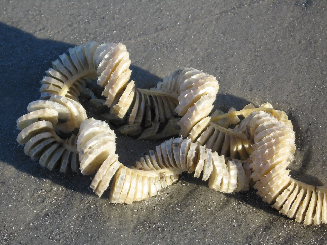 Knobbed Whelk Egg Case
