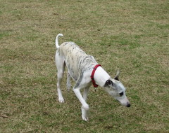 dog sports, dog breed, animal, magyar agã¡r, dog, whippet, galgo espaã±ol, pet, mammal, greyhound,